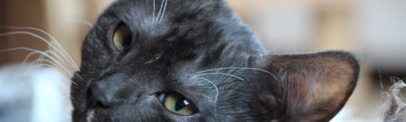 What You Need to Know about Feline Leukemia Virus